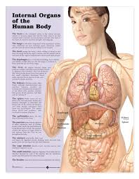 Anatomy Of The Human Body Bones Internal Organs Of The Human Body Female Human Anatomy Organs