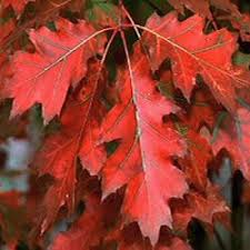 buy oak tree quercus rubra tree free uk delivery