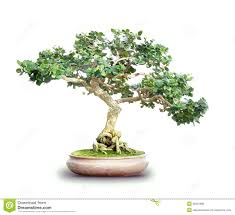 small bonsai lemon tree with yellow sorrento lemons and green