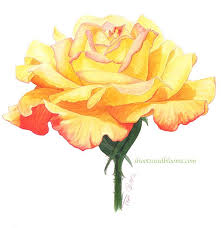 yellow roses with tips orange flower clipart one flower pencil and in color orange