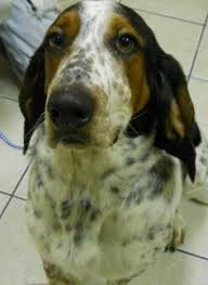 bluetick coonhound beagle adopt holly on beagles and beagle mix