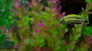 different breeds of ornamental fish and algae live in an aquarium