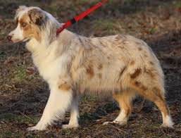 australian shepherd price puppies available danger x joy lobo u0027s australian shepherds