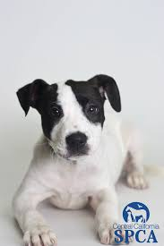 3 month boxer dog calisi id 21892115 is a 3 month old female black and white