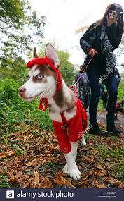 halloween dog costumes stock photos u0026 halloween dog costumes stock