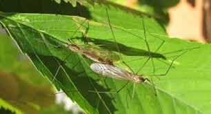 How To Get Rid Of Backyard Flies by Crane Fly Control U2013 How To Get Rid Of Crane Flies In Lawn
