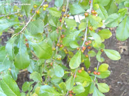 native plants of texas texas native plant week seeds n berries my gardener says u2026