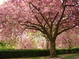 flowering cherry tree varieties nz pictures reference