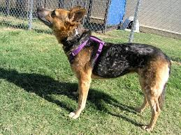 australian shepherd cattle dog mix big german shepherds german shepherd australian cattle dog mix