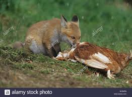 red fox vulpes vulpes young feeding on chicken stock photo