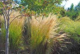 light up your landscape great grasses for fall and winter