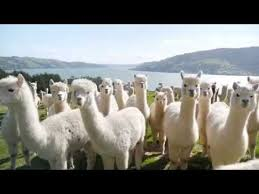 Alpaca Duvets Ellis Fibre 100 New Zealand Made Alpaca Duvet Youtube