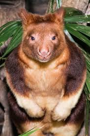 67 best pouched mammals tree kangaroo images on pinterest
