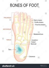 Anatomy Of The Calcaneus Bones Foot Human Anatomy Diagram Shows Stock Vector 698095519