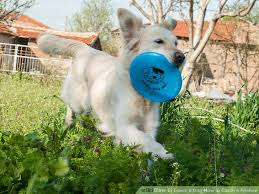 belgian shepherd how to train how to teach a dog how to catch a frisbee 10 steps