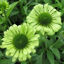 echinacea flower green coneflower flower seed pack with planting