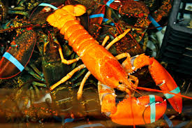one in a million u0027 bright orange lobster caught in maine new york