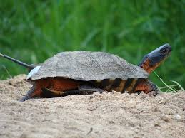 wood turtle wikipedia