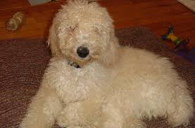 standard poodle hair styles first haircut poodle forum standard toy miniature teacup cuts