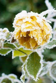 330 best frosted images on pinterest winter snow frozen rose
