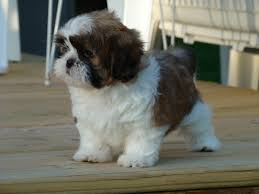 62 entries in shih tzu wallpapers group
