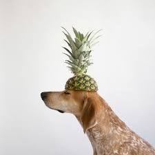 pineapple can dogs eat pineapples don u0027t feed till you read this my bones
