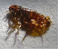 How Long Do Fleas Live In Carpet Fleas U0026 Worms