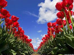 Flower Gardens Wallpapers - tulips garden wallpapers 18 wallpapers u2013 hd wallpapers