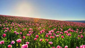 tulip fields wallpaper 1920x1080 55459