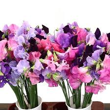 sweet peas flowers sweet peas blossom mix 40cm wholesale flowers florist