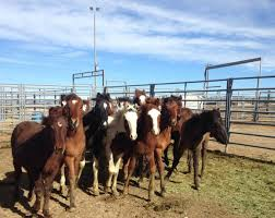 mustang horse programs wild horse and burro adoptions and sales adoption