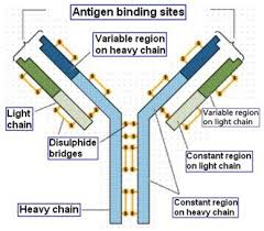 heavy chain light chain immunoglobulin light chain variable region fragment immunoglobulin