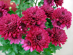 fall blooming flowers hrizantema flower power pinterest chrysanthemums