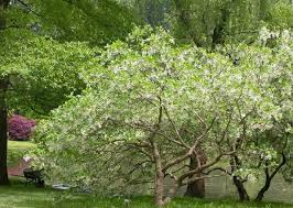 tree with white flowers chionanthus virginicus fringe tree