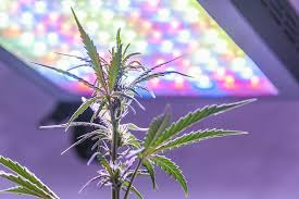 Led Grow Lights Cannabis 5 Top Rated Full Spectrum Led Grow Lights For All Growers Of All