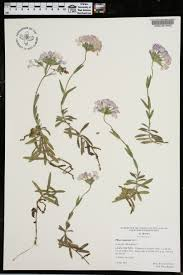 native plants of alabama phlox amoena species page apa alabama plant atlas
