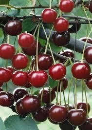 Cherry Tree Fruit - amazon com danube cherry tree seeds 20 cherry seeds