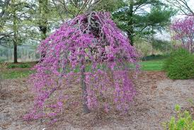 evaluating the weeping redbuds what grows there hugh conlon