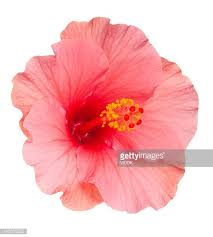 flower pic tropical flower stock photos and pictures getty images