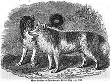 american eskimo dog in india hare indian dog wikipedia