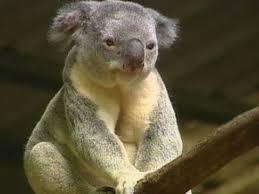 koala saved kids 480x360 jpg