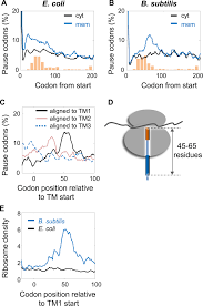 mrna programmed translation pauses in the targeting of e coli