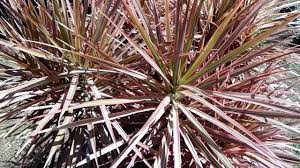 Dracaena Marginata Dracaena Marginata Tricolor Madagascar Dragon Youtube