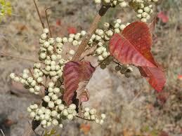 poison ivy thrives nicely idaho