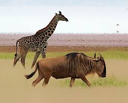 how does the loss of a wildebeest migration also harm giraffes
