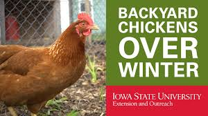 backyard chickens how to keep your chickens in winter youtube