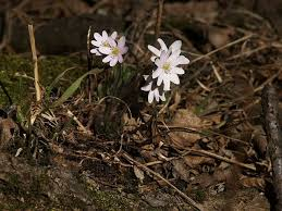 hepatica plant care u2013 learn about the liverleaf hepatica plant