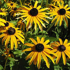 black eyed susan flowers attract butterflies to your garden