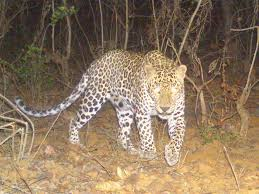 leopard trapped successfully without using tranquilizer nagpur