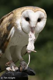 Barn Owl Sounds Barn Owl Facts Naturemapping